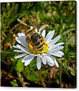 Daisy And Bee Canvas Print