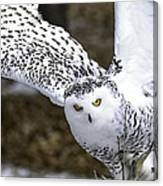 Landing Of The Snowy Owl Where Are You Harry Potter Canvas Print