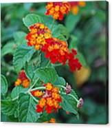 Lantana Delight Canvas Print