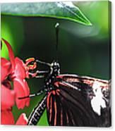 Laparus Doris Butterfly Canvas Print