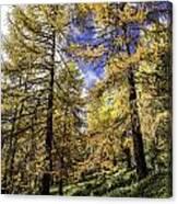 Larch Pines Canvas Print