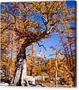 Larch Tree Frames Prusik Peak Canvas Print