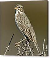 Large-billed Savannah Sparrow Canvas Print