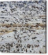 Large Flocks Of Migratory Birds Stop Canvas Print