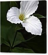 Large Flowered Trillium Canvas Print