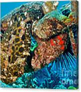 Large Frogfish Canvas Print