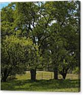 Large Green Oak Trees Canvas Print