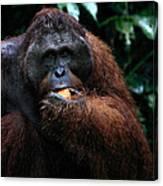 Large Male Orangutan Borneo Canvas Print