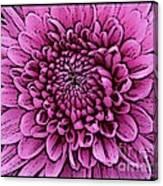 Large Pink Dahlia 2 Canvas Print