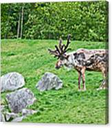 Large Reindeer Molting In Summer Pasture Art Prints Canvas Print