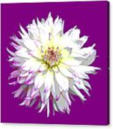 Large White Dahlia On Purple Background. Canvas Print
