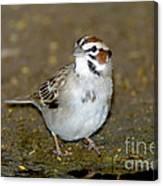 Lark Sparrow Canvas Print