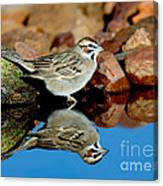 Lark Sparrow Chondestes Grammacus Canvas Print