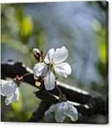 Late Spring Blossom Canvas Print