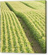 Late Summer Corn Field In Maine Canvas Print
