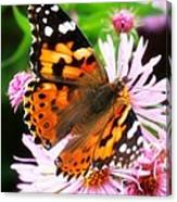 Late Summer Painted Lady Canvas Print