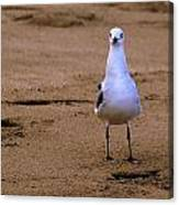 Laughing Gull 004 Canvas Print