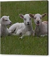 Laughing Lamb Canvas Print