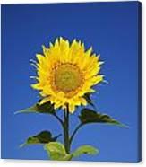 Laval, Quebec, Canada Sunflower Canvas Print
