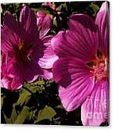 Lavatera - A Study In Pink Canvas Print