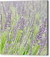 Lavender 1 Canvas Print