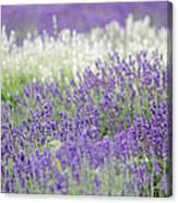 Lavender 4 Canvas Print
