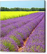 Lavender And Mustard Canvas Print