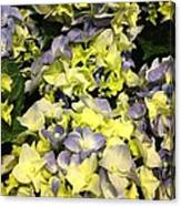 Lavender And Yellow Hydrangea Canvas Print