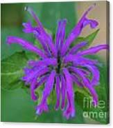Lavender Bloom Canvas Print