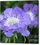 Lavender Blue Pincushion Flower Canvas Print
