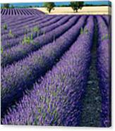 Lavender Fields Canvas Print