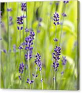 Lavender Flowers Background Canvas Print
