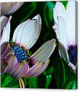 Lavender Frost African Daisy Canvas Print