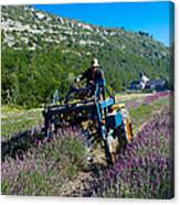 Lavender Harvest In Provence Canvas Print