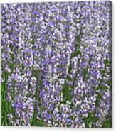 Lavender Hues Canvas Print