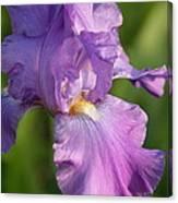 Lavender Iris Blooming  Canvas Print