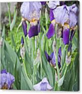Lavender Iris Group Canvas Print