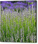 Lavender Layers Canvas Print