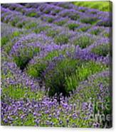 Lavender Rows Canvas Print