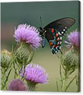 Lavender Thistle And Pipevine Swallowtail Butterfly Canvas Print