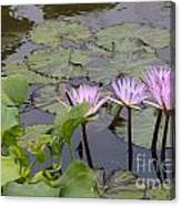 Lavender Waterlilies Canvas Print