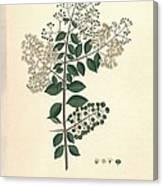 Lawsonia Inermis, Historical Artwork Canvas Print