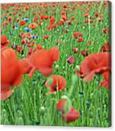 Laying In The Poppy Field Canvas Print