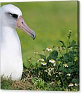 Laysan Albatross Nesting Hawaii Canvas Print