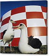 Laysan Albatross Pair Nesting Midway Canvas Print