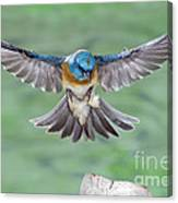 Lazuli Bunting In Flight Canvas Print