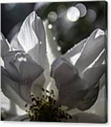 Lazy Afternoon White Rose Canvas Print