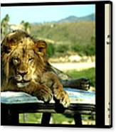 Lazy Lion With Poety Canvas Print