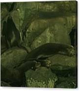 Lazy Sea Lions Canvas Print