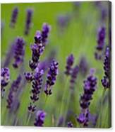 Lea Of Lavender Canvas Print